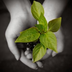 Junge Pflanze wird von zwei Händen gehalten